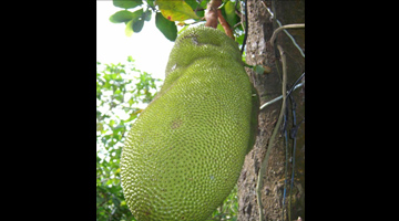 PCAARRD, ViCARP set to roll out projects on jackfruit