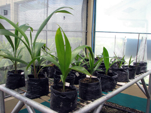 Coconut mass propagation attained through somatic embryogenesis 4
