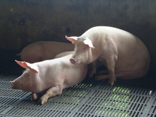 Swine genomics to help improve the industry's productivity 1