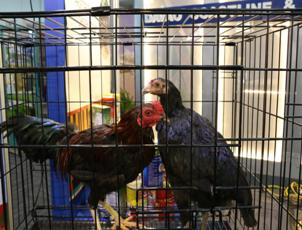 Enhancement of the Philippine Native Chicken through S&T on display
