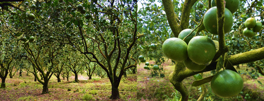 """Cagayan Valley eyes """"Citrus Capital of the Philippines"""" title"""